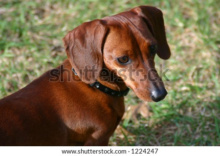Cute Miniature Dachshund dog close-up with blurred background