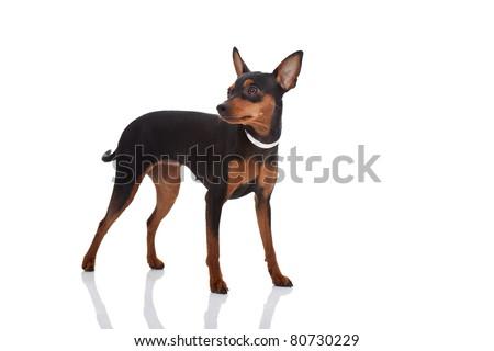 cute miniature pincher posing on white background - stock photo