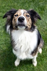 Cute mixed breed dog sitting on the lawn, portrait of looking pet, patchy mixed-breed