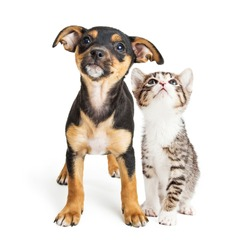 Cute mixed breed puppy and kitten together on white, looking up