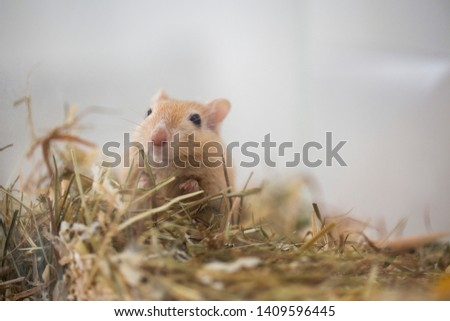 cute Mongolian gerbil  in the aquarium