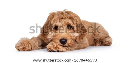 Cute 4 months young Labradoodle pup, laying down side ways. Haed on paws looking very sad beside camera with closed mouth. Isolated on white background. Foto stock ©