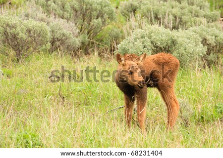 Cute moose calf - photo#13