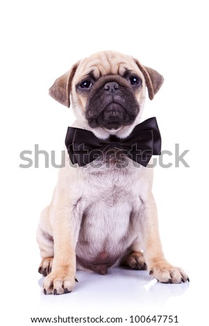 cute mops puppy dog with neck bow sitting and looking at the camera on white background
