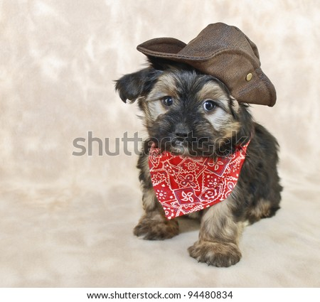 Cute Morkie puppy dressed up in a cowboy outfit with copy space.
