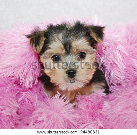 Cute Morkie puppy snuggled in a pink blanket.