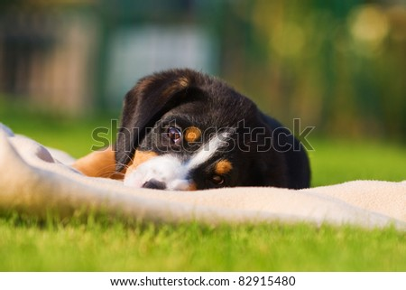 cute mountain dog puppy on a blanket