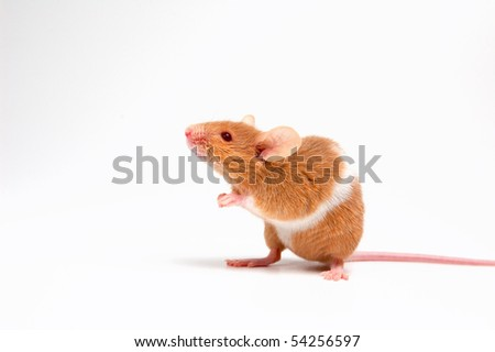 cute mouse  on white