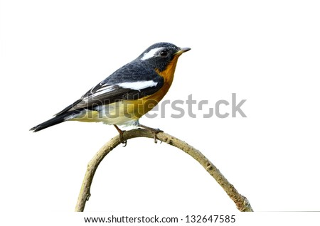 Cute Mugimaki Flycatcher with very nice details on its feathers, Ficedula mugimaki, isolated white background, bird