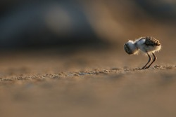 Cute newborn kentish plover chicks newborn on the sand of the beach at sunset. Nature, new life and wildlife concept.