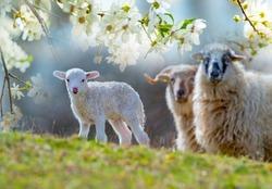 cute newborn lamb close up