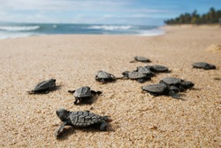 Cute newborn Sea Turtle,  Caretta caretta, birth on the sand beach, Bahia, Brazil. Ocean Live, small Loggerhead and hawksbill baby release nest to sea water. Young tortoise born wild.  close up