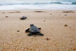 Cute newborn Sea Turtle, Caretta caretta, birth on the sand beach, Bahia, Brazil. Ocean Live, small Loggerhead baby crawl from nest to the foamy sea water. Young tortoise born in wild.