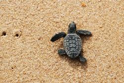Cute newborn Sea Turtle, Caretta caretta, birth on the sand beach, Bahia, Brazil. Ocean Live, small Loggerhead baby crawl from nest to the foamy sea water. Young tortoise born wild. Top view footprint