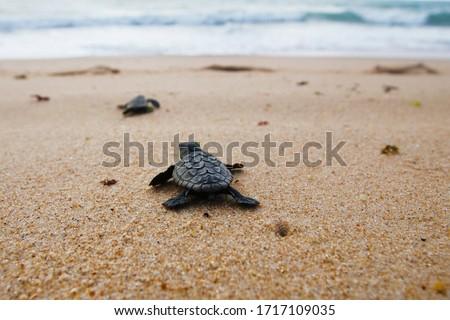 Cute newborn Sea Turtle, Caretta caretta, birth on the sand beach, Bahia, Brazil. Ocean Live, small Loggerhead baby crawl from nest to the foamy sea water. Young tortoise born in wild. Stock photo ©