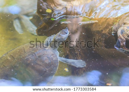 Cute northern river terrapin (Batagur baska) is a species of riverine turtle native to Southeast Asia.