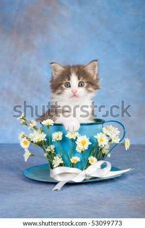 Cute Norwegian Forest Cat kitten sitting inside large cup with white daisies flowers on blue background