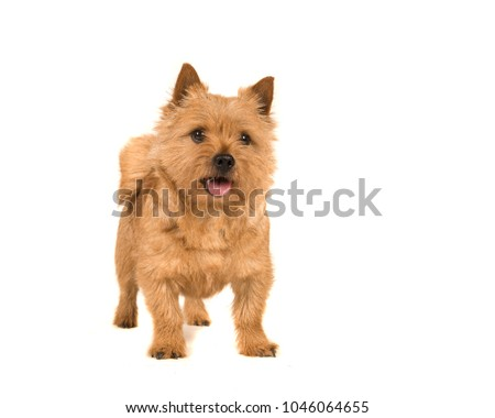 Cute norwich terrier dog standing with mouth open isolated on white background #1046064655