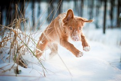 Cute nova scotia duck tolling retriever jumping through snow in winter in the forest. Action picture, blue background