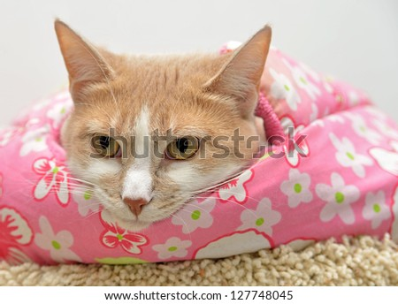 Cute orange cat bundled up in her pink blanket - relaxed