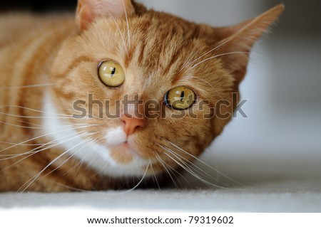 Cute orange tabby domestic shorthair cat looking up - stock photo