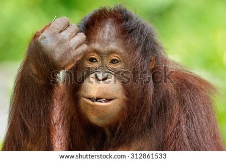 Cute Orangutan. #312861533