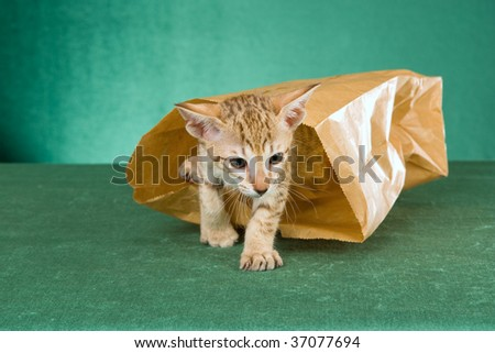 Cute Oriental kitten walking out of paperbag, on green background