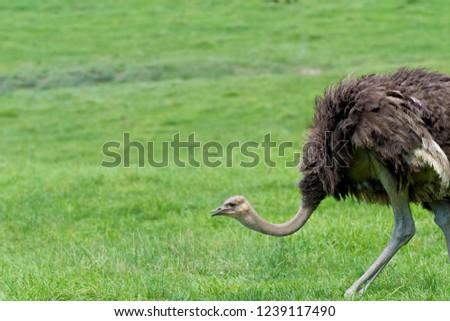 Cute ostrich bred in ostrich ranch #1239117490