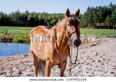 Cute palomino horse portrait on the beach in summer #1549981658
