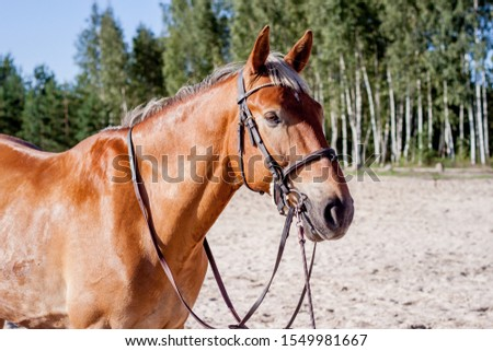 Cute palomino horse portrait on the beach in summer #1549981667