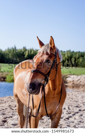 Cute palomino horse portrait on the beach in summer #1549981673