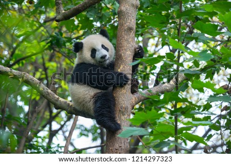 Cute panda bear climbing tree  #1214297323