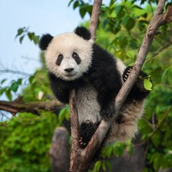 Cute panda bear climbing tree in forest
