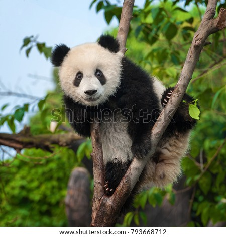 Cute panda bear climbing tree in forest
