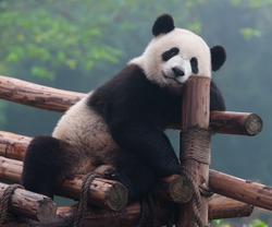 Cute panda bear posing for camera