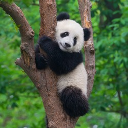 Cute panda in tree
