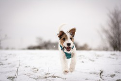 Cute Parson Russell Terrier Puppy playing in the Snow