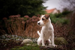 Cute Parson Russell Terrier with Natural Bokeh Background