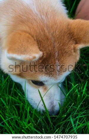 Cute pedigreed dog of japanese breed Akita Inu (Red Shiba Ina) smeling green grass. Vertical portrait, side view, outdoor #1474707935
