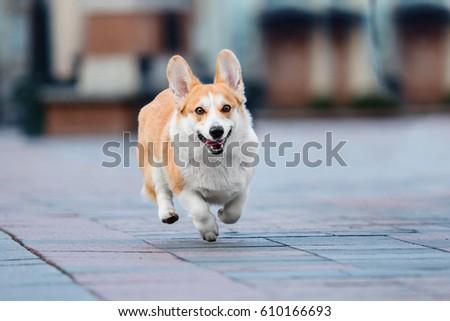 Cute Pembroke Welsh Corgi Dog Running Ez Canvas