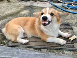 Cute Pembroke Welsh Corgi puppy with his angry face