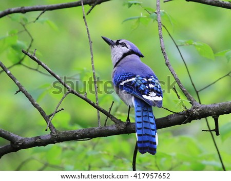Cute Perching Blue Jay