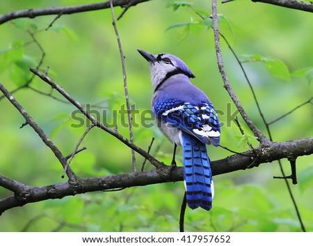 Cute Perching Blue Jay