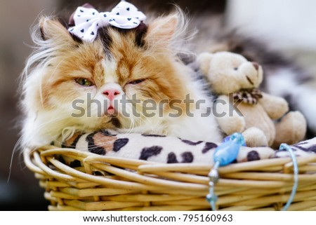 Cute persian cat in rettan busket outdoor photoshoot. Exotic high noise persian cat. #795160963