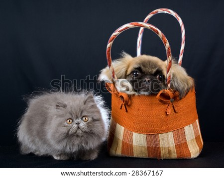 Cute Persian kitten and Pekingese puppy with brown handbag purse on black background