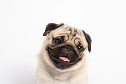 Cute pet dog pug breed smile with happiness feeling so funny and making serious face isolated on white background