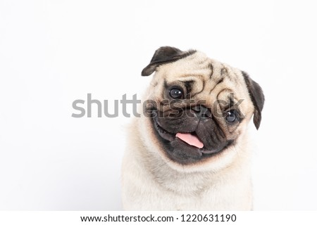 Cute pet dog pug breed smile with happiness feeling so funny and making serious face isolated on white background,Purebred pug dog healthy Concept