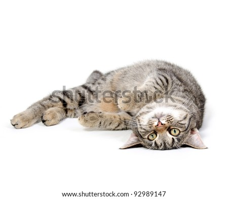 Cute pet tabby cat laying down on white background