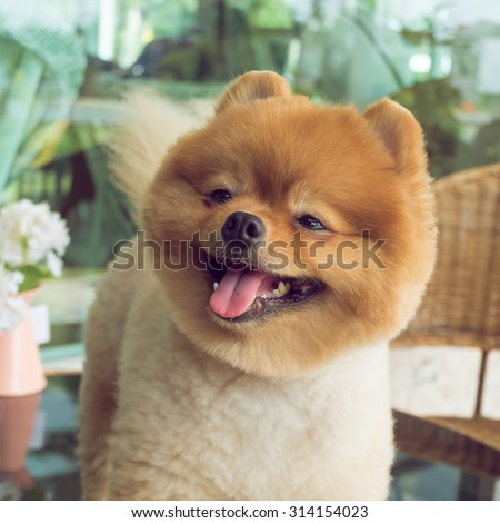 cute pets, a little pomeranian dog smiling happy