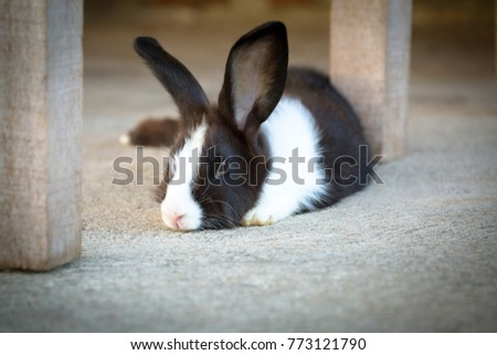 Cute photo of black and white hair bunny. #773121790